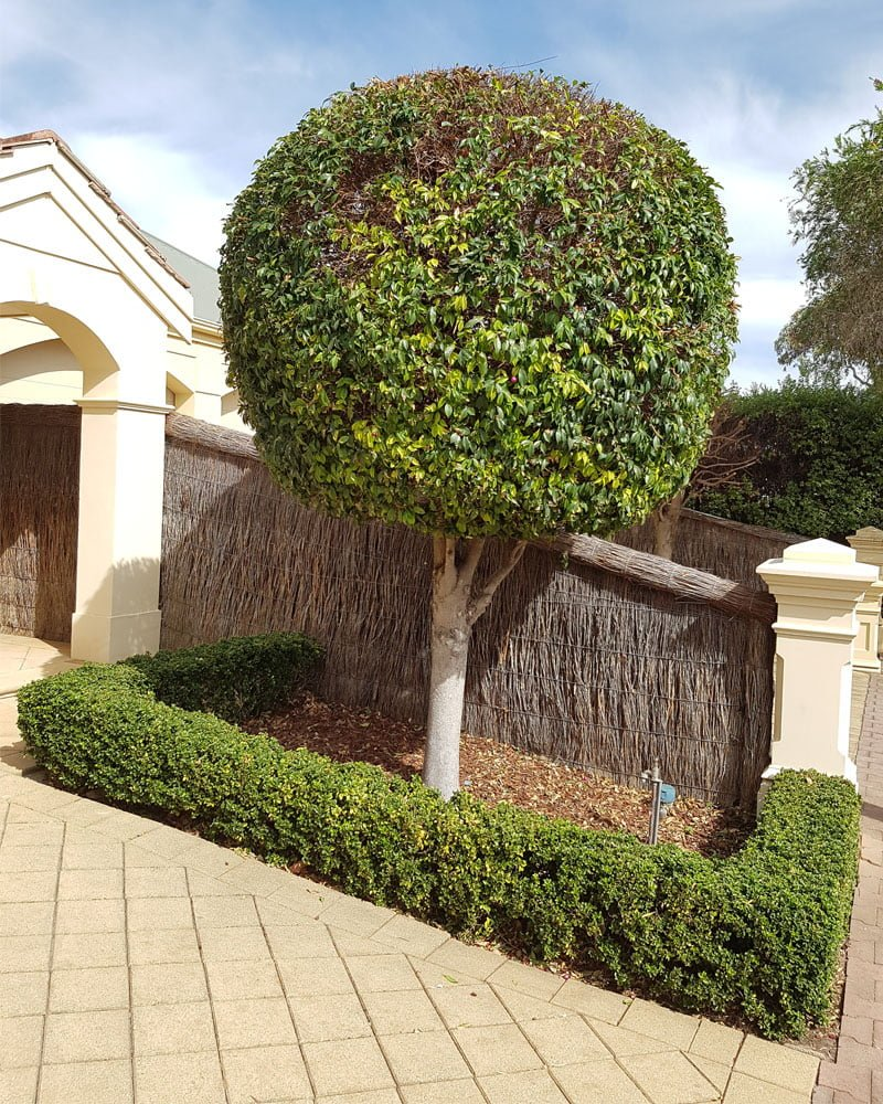 trimmed hedges