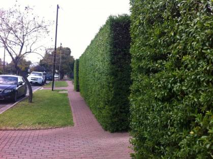 overgrown hedge after